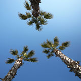 三棵棕榈 免版税库存照片