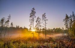 三棵稀薄的杉木在日落的有雾的沼泽 库存图片