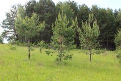 三棵年轻杉树 库存图片