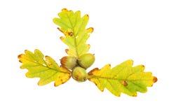 三橡木叶子和橡子 免版税库存照片