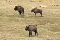 三欧洲野牛在草原 免版税图库摄影