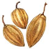 三毛茸的Boab坚果,在白色的水彩例证 皇族释放例证