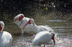三沐浴在一个水池的朱鹭在佛罗里达 免版税库存照片