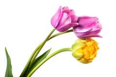 三淡紫色和黄色春天花 空白查出的郁金香 免版税图库摄影