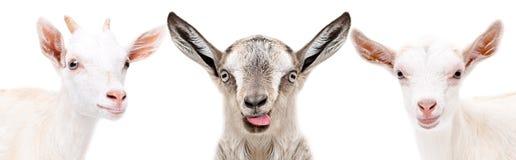 三滑稽的山羊的画象 库存照片