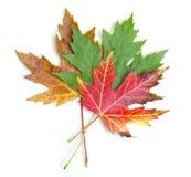 三片五颜六色的枫叶 免版税库存照片