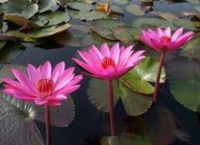 三片开花的生动的桃红色莲花和绿色叶子在湖 免版税库存照片