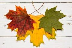 三片槭树叶子用在白色背景的不同的颜色 免版税库存图片