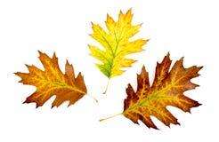 三片秋天五颜六色的橡木叶子 库存照片