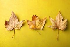三片秋天槭树叶子 库存照片