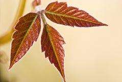 三片红色叶子 库存图片