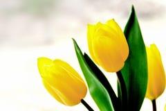 三片美丽的黄色郁金香和绿色叶子 库存图片