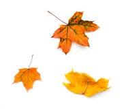 三片黄色秋天槭树叶子 库存照片