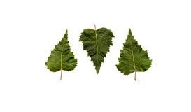 三片绿色叶子,一颠倒 库存图片