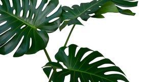 三片Monstera植物叶子,在白色背景隔绝的热带常青藤,道路 库存照片