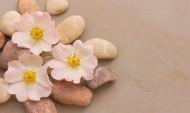 三狂放桃红色的花在灰色背景的小卵石上升了 免版税库存照片