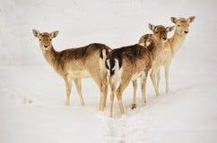 三头白被盯梢的鹿 库存图片
