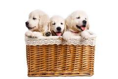 三白色在一个柳条筐的拉布拉多小狗 库存图片