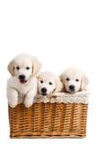 三白色在一个柳条筐的拉布拉多小狗 免版税库存照片