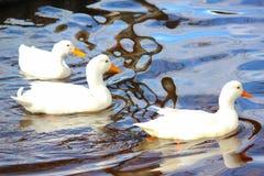 三白色在反射性池塘水的鸭子游泳 库存照片