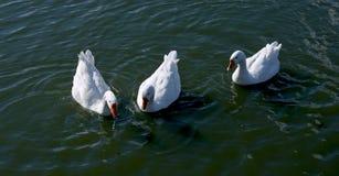三白色鹅在水中 库存照片