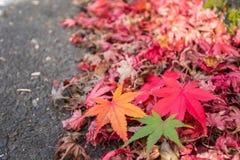 三种颜色槭树 库存照片