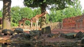 三站立和观看围拢的长颈鹿 影视素材