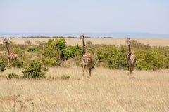 三站立在草原的长颈鹿 库存照片