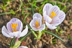 三第一春天开花与紫色线的番红花白色颜色 免版税库存照片
