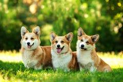 三红色威尔士小狗彭布罗克角在绿草尾随户外 免版税库存照片