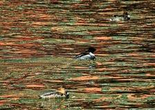 三红色breasted漂浮在有都市风景的反射的芝加哥河的秋沙鸭鸭子 免版税库存图片
