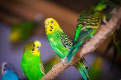 三美丽的鹦鹉的特写镜头 库存照片