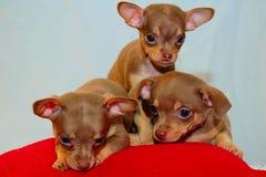 三胞胎小狗 库存图片
