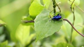 三色大有腿,萨格拉Femorata,蓝色在一片绿色叶子的青蛙有腿的甲虫 股票录像