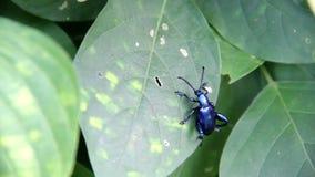 三色大有腿,萨格拉Femorata,蓝色在一片绿色叶子的青蛙有腿的甲虫 影视素材