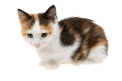 三色小猫 免版税图库摄影