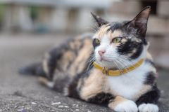 三色混杂的猫 库存照片