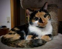 三色猫休息 图库摄影