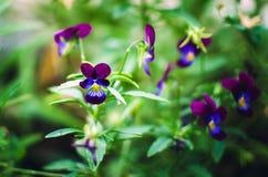 三色的中提琴在夏天增长在庭院里 免版税图库摄影