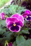 三色的中提琴-蝴蝶花 免版税库存图片