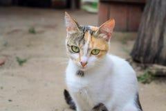 三色的猫 免版税库存照片