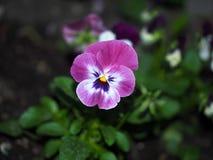 三色的蝴蝶花或的中提琴 图库摄影