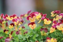 三色蝴蝶花花植物自然后面地面, 免版税库存图片