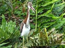 三色Tricolored的苍鹭或的白鹭属 免版税库存图片