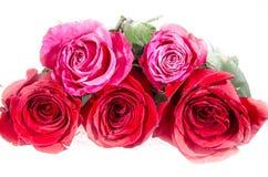 三英国兰开斯特家族族徽和两朵桃红色玫瑰与一些绿色 免版税库存图片