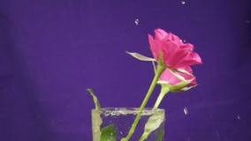 三英国兰开斯特家族族徽在花瓶和弹起慢慢地落,慢动作 股票录像
