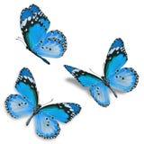 三蓝色蝴蝶 库存照片