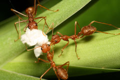 三蚂蚁 免版税库存照片