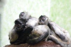 三蜘蛛monkeys2 库存图片
