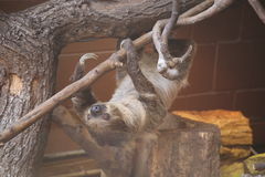 三蟾蜍怠惰在伦敦动物园里 免版税库存图片
